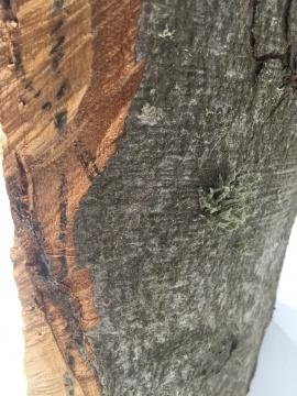 树干上伴生的苔藓