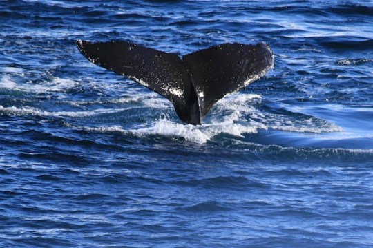 壁纸 动物 海洋动物 鲸鱼 桌面 540_359